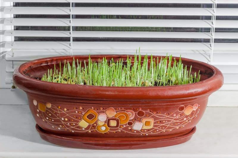Young sprouts of barley in flower pot on the windowsill stock image