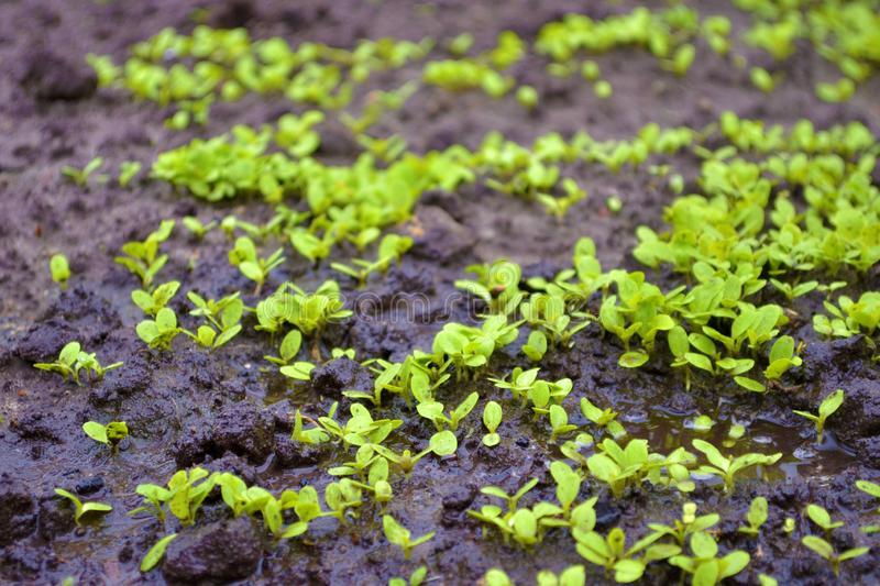 Young sprouts of lettuce in the garden on the wet ground with a puddle. Small sprouts of greenery in the garden on the wet ground with a puddle royalty free stock photo