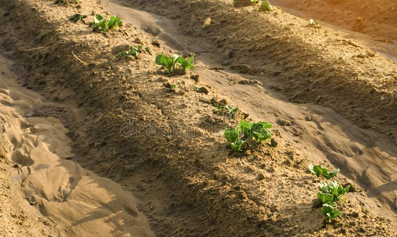 Young sprouts of potatoes make way from under the earth. Beginning crop growth. Planting potato plantations, caring for plants royalty free stock image