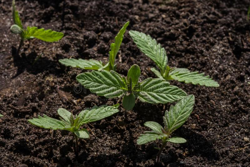 Young sprouts of wild cannabis on the background of the soil. royalty free stock photos