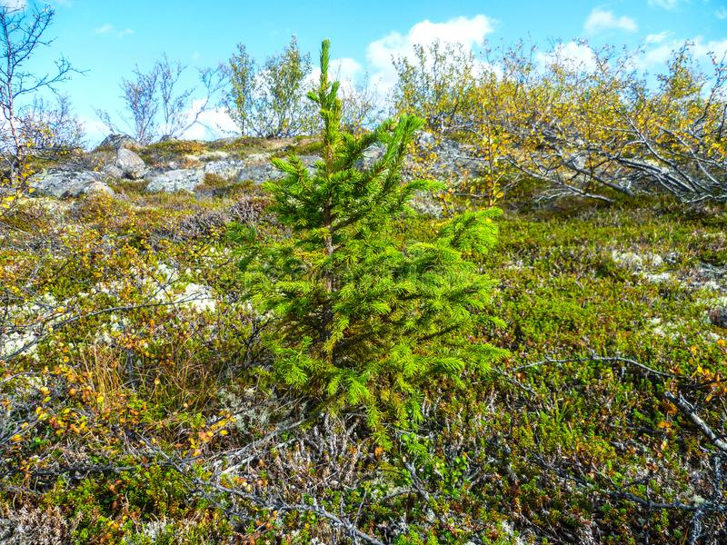 A lonely little spruce stands out in green among gray, dried trees in the tundra in northwestern Russia. A young spruce of bright green color stands out in the royalty free stock images