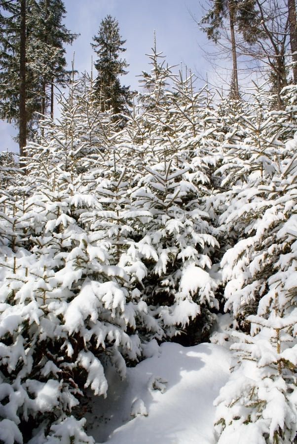 Young spruce covered with snow in a bright sunny day stock photography