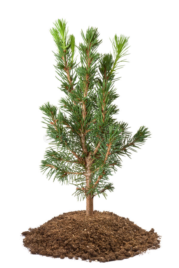 Young spruce sapling. Isolated on a white stock photo
