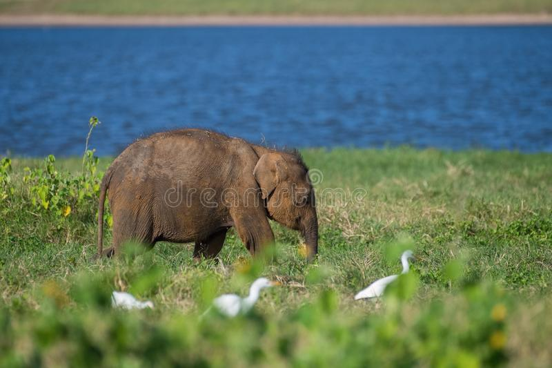 Young Sri Lankan Elephant, Elephas maximus maximus is walking in the typical habitat. It is eating the grass, in the background is royalty free stock photos