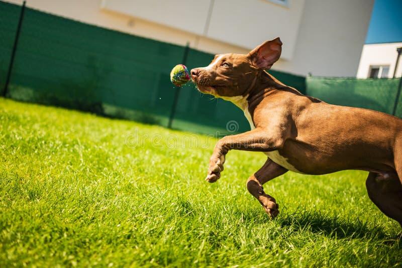 Young Staffordshire having fun running in a garden stock photo
