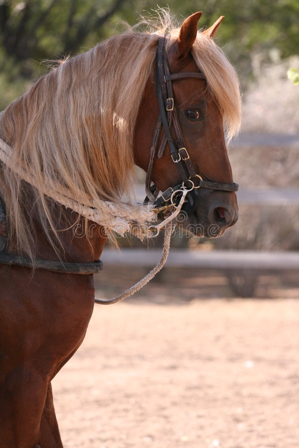 Young Stallion royalty free stock photos