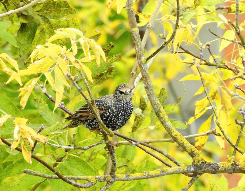 Young starling bird on green plant , Lithuania. Nice young starling bird on yellow tree branch in autumn stock image