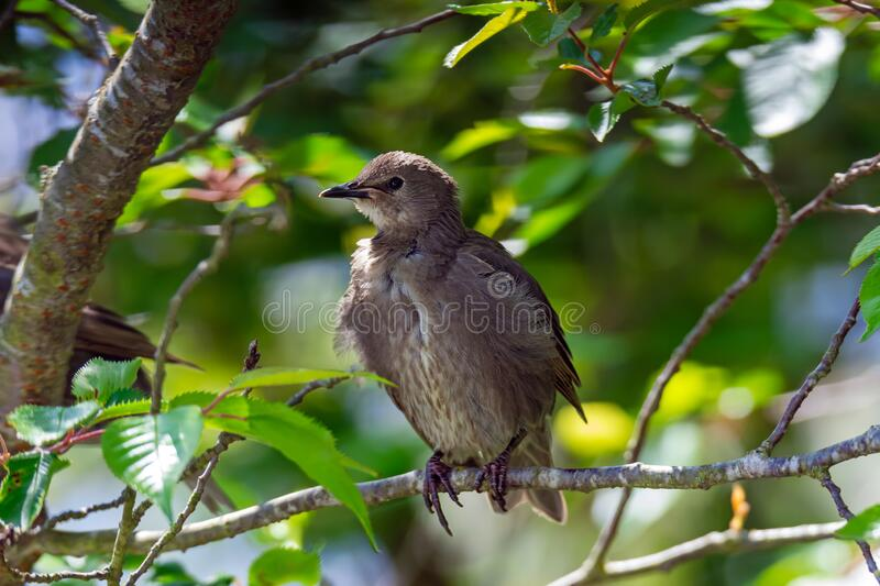 Young starling bird sitting on the twig of a tree royalty free stock photography