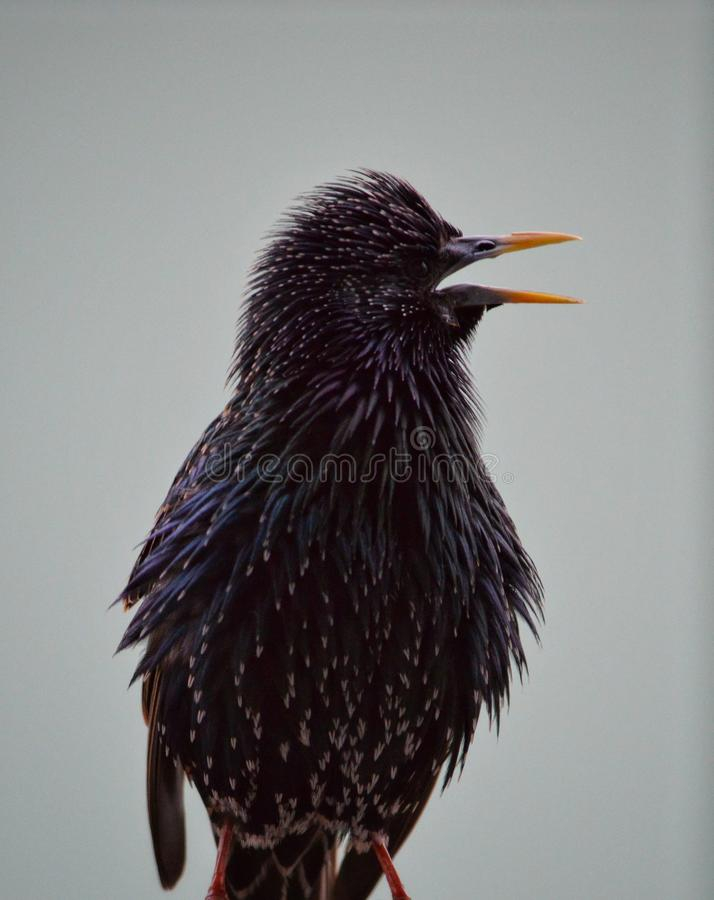 A young starling perched on a balcony calling for it& x27;s mother. Its, bird, wildlife royalty free stock photo