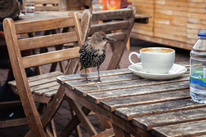 Young starling on a wooden table with a white cup stock images