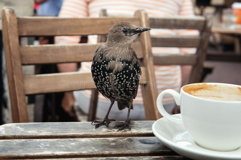 Young starling on a wooden table with a white cup stock image