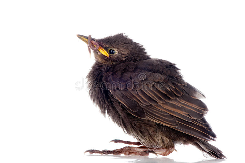 Download Young starling with worm stock image. Image of talon - 27351517