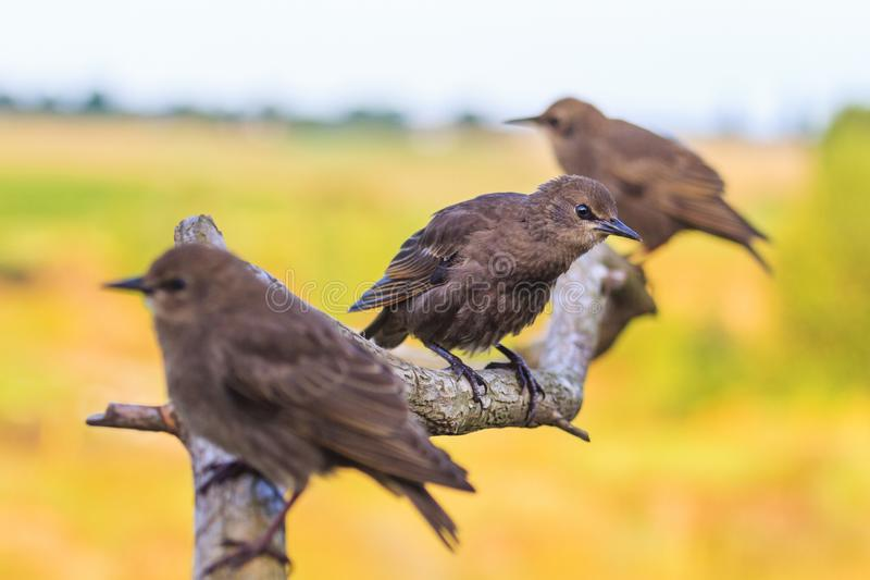 Young starlings sitting on a branch. Wildlife, animals stock photo