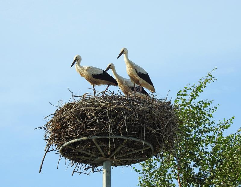 https://thumbs.dreamstime.com/b/young-stork-birds-nest-lithuania-beautiful-young-birds-nest-summer-121570957.jpg