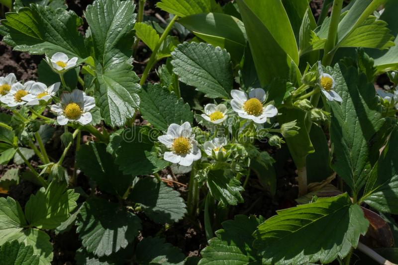 Young strawberry bushes blooming in small white flowers in an outdoor garden.  stock images