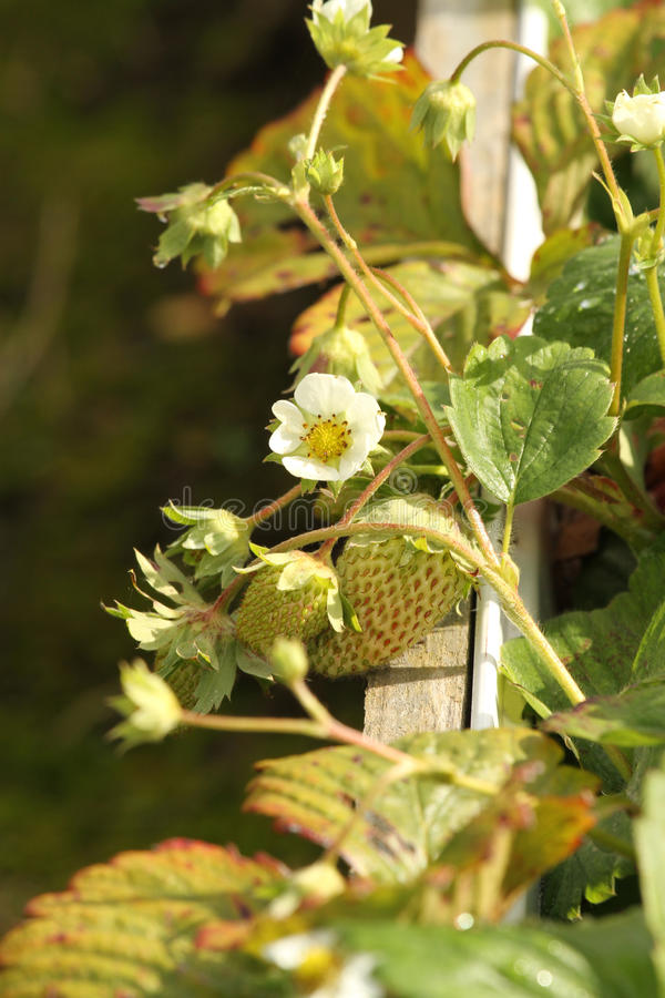 Young Strawberry Plant. In flower stock photography