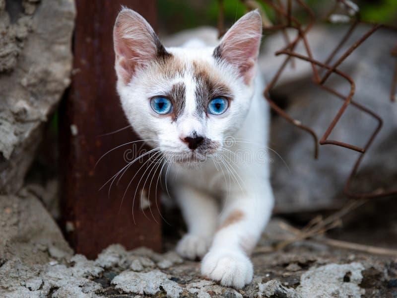 White blue eyes stray cat royalty free stock photos