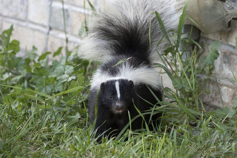Young striped skunk Mephitis mephitis stock photo