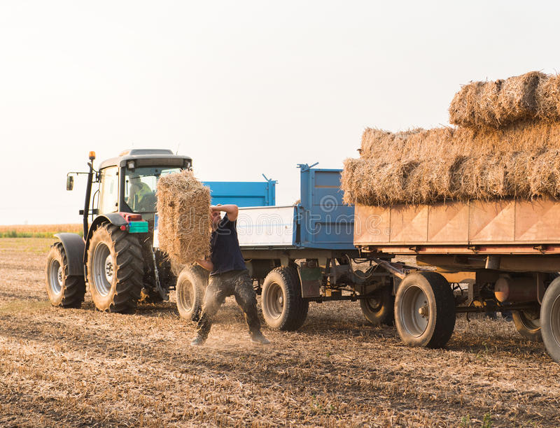 Young and strong farmer throw hay bales in a tractor trailer - b royalty free stock images