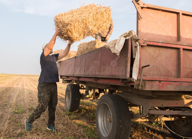 Young and strong farmer throw hay bales in a tractor trailer - b royalty free stock photos