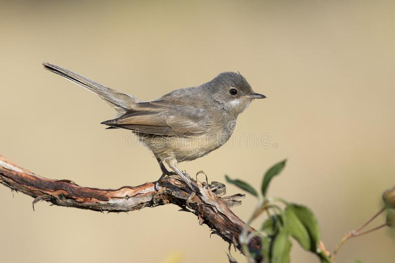 Young subalpine warbler. Sylvia Cantillans, on her hanger royalty free stock photo