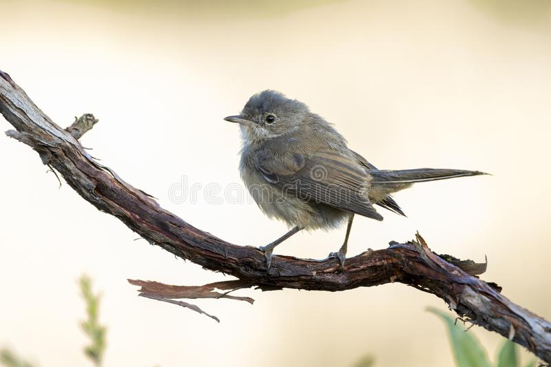 Young subalpine warbler. Sylvia Cantillans, on her hanger on a uniform background royalty free stock photos
