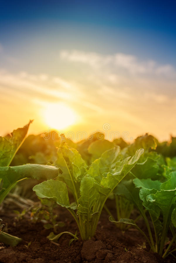 Young sugar beet crops growing in field royalty free stock photos