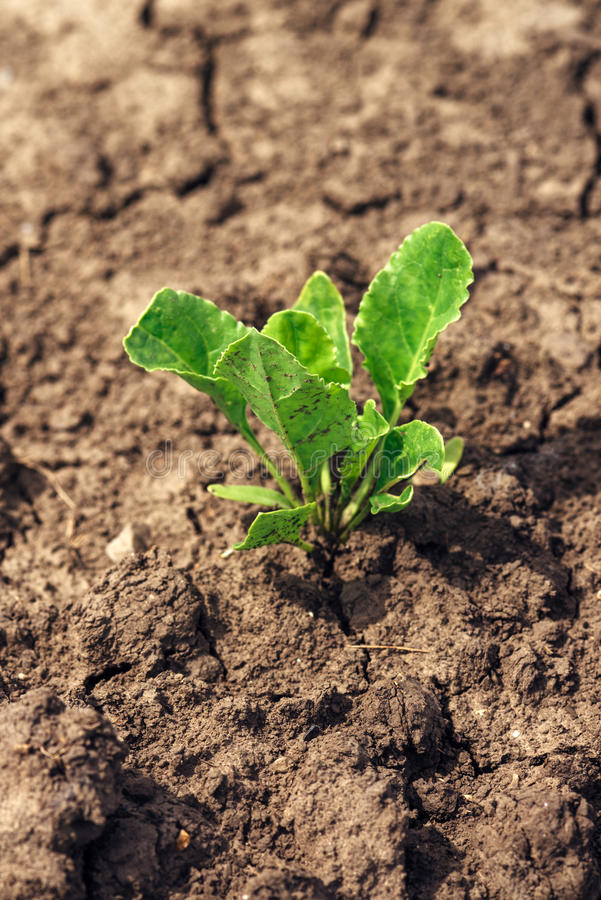 Young sugar beet plant in field royalty free stock image