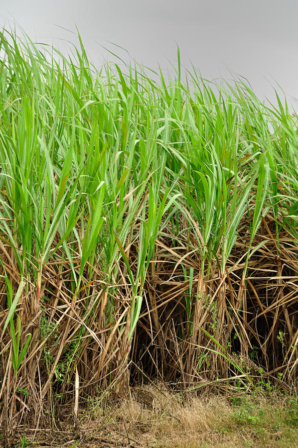 Young sugar cane plants stock photo