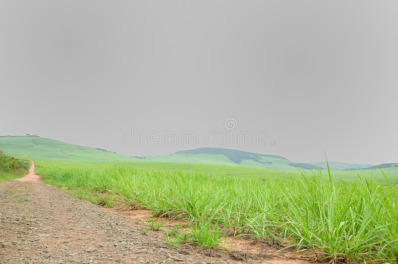 Young sugar cane plants royalty free stock photo