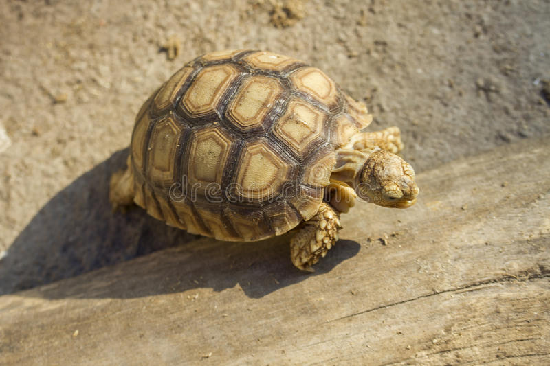 Young Sulcata tortoise. Sulcata tortoise, African spurred tortoise royalty free stock photos