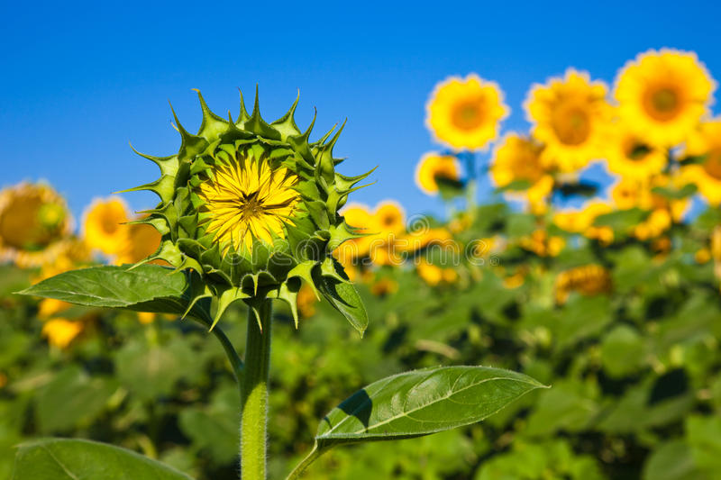 Young Sunflower stock image