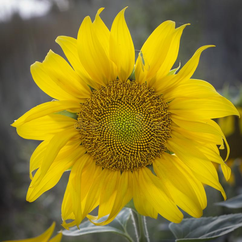 Young sunflower flower close up, soft focus. Close up agriculture beautiful blooming blossom field floral green growth landscape leaf meadow nature plant summer stock photography