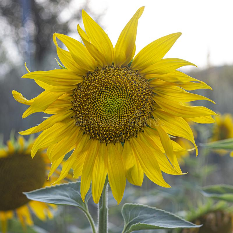 Young sunflower flower close up, soft focus. Close up agriculture beautiful blooming blossom field floral green growth landscape leaf meadow nature plant summer stock image