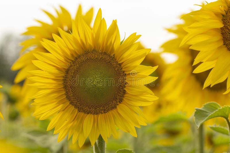 Young sunflower flower close up, soft focus. Close up, agriculture, beautiful, blooming, blossom, field, floral, green, growth, landscape, leaf, meadow, nature royalty free stock photography