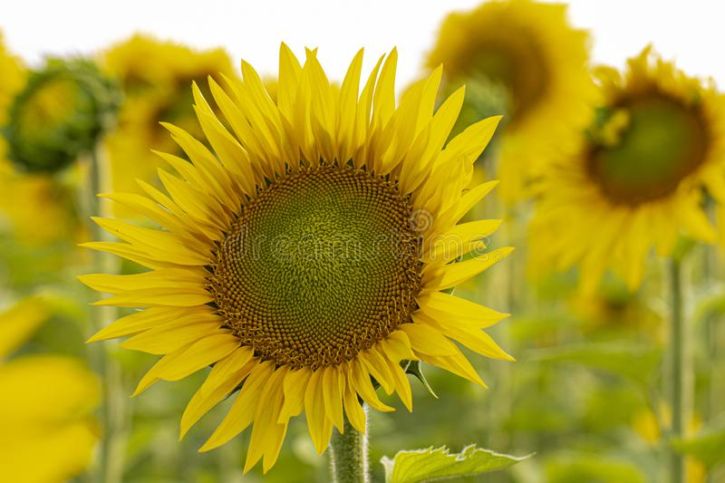 Young sunflower flower close up, soft focus. Close up, agriculture, beautiful, blooming, blossom, field, floral, green, growth, landscape, leaf, meadow, nature stock photo