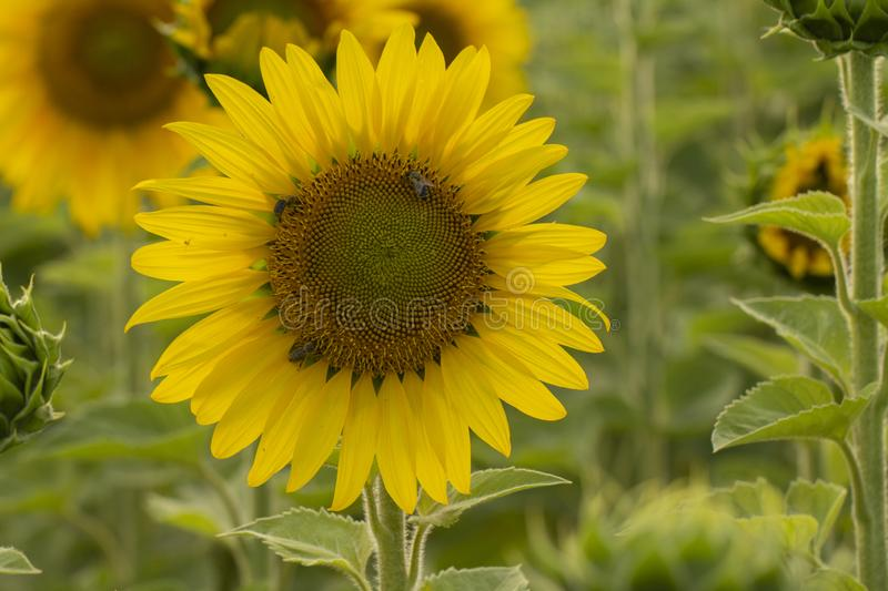 Young sunflower flower close up, soft focus. Close up, agriculture, beautiful, blooming, blossom, field, floral, green, growth, landscape, leaf, meadow, nature stock photos