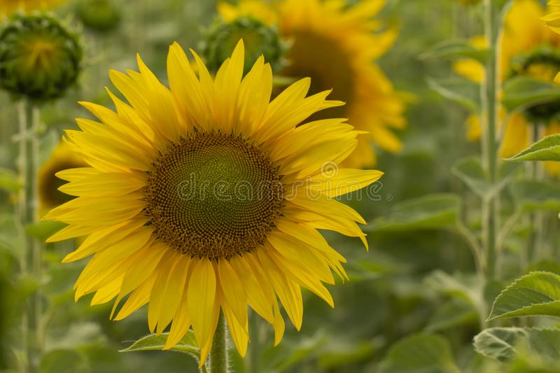 Young sunflower flower close up, soft focus. Close up, agriculture, beautiful, blooming, blossom, field, floral, green, growth, landscape, leaf, meadow, nature royalty free stock images