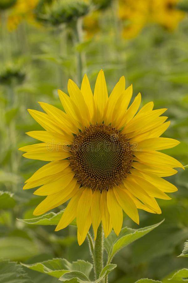 Young sunflower flower close up, soft focus. Close up, agriculture, beautiful, blooming, blossom, field, floral, green, growth, landscape, leaf, meadow, nature stock photography