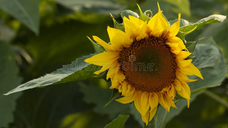 Young sunflower flower close up, soft focus. Close up, agriculture, beautiful, blooming, blossom, field, floral, green, growth, landscape, leaf, meadow, nature royalty free stock photo