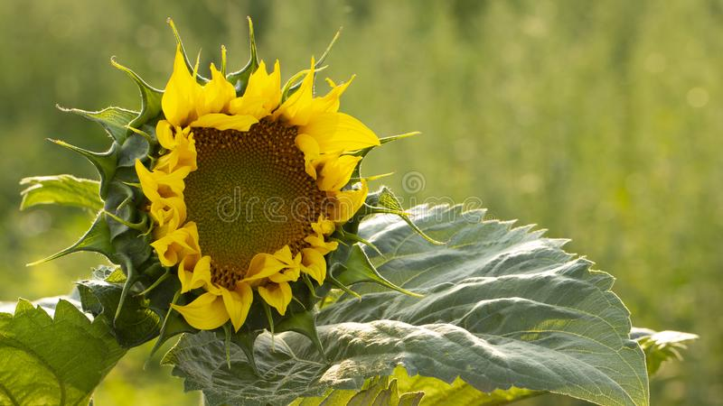 Young sunflower flower close up, soft focus. Close up, agriculture, beautiful, blooming, blossom, field, floral, green, growth, landscape, leaf, meadow, nature stock images