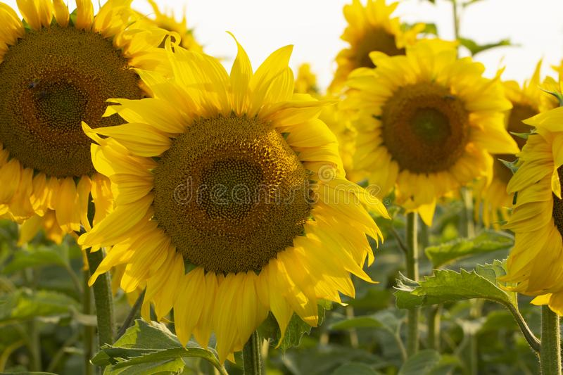 Young sunflower flower close up, soft focus. Close up, agriculture, beautiful, blooming, blossom, field, floral, green, growth, landscape, leaf, meadow, nature stock image