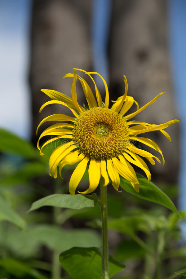 Young sunflower with tall trees behind royalty free stock photo