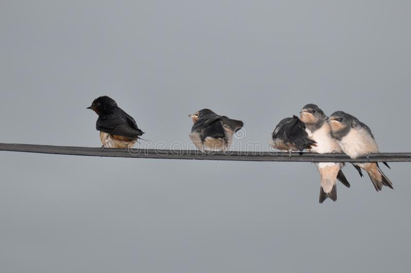 Young swallow stock photography