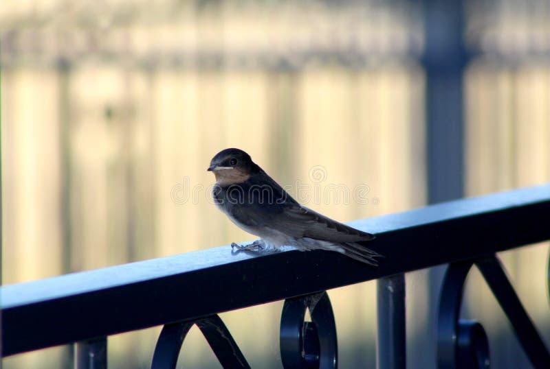 A young swallow stock photos