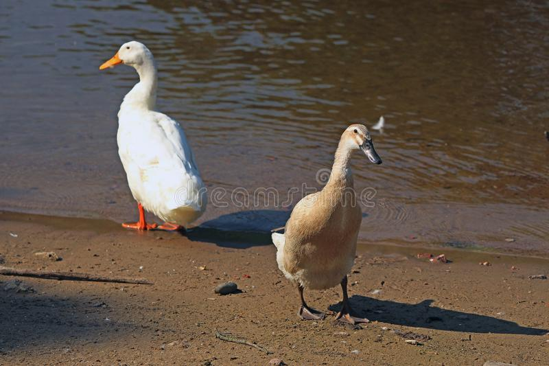 Young swan and goose on the shore of the pond. Young swan and goose by the water on the shore of the pond stock image