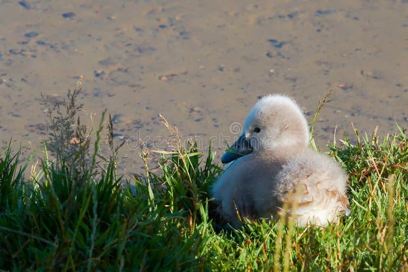 Young swan at a lake royalty free stock photo