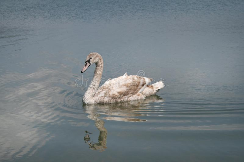 A young swan is a mute in the Abrau-Durso lake royalty free stock photo