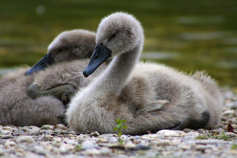 Young swan resting on a lakeshore royalty free stock photo