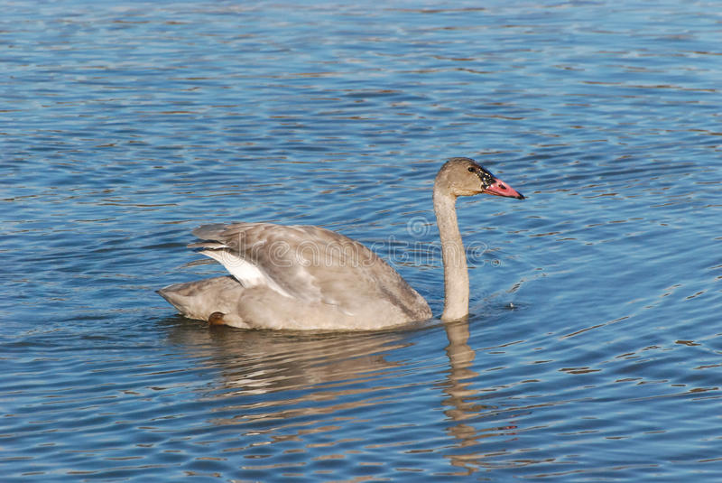 Download Young Swan stock photo. Image of wing, water, life, feathers - 34310760